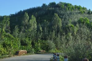 Neo-Australian landscapes along RN11a in eastern Madagascar:  Grevillea, Eucalyptus, Acacia...