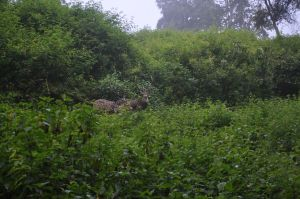 Spotted deer (chital) surrounded by lantana