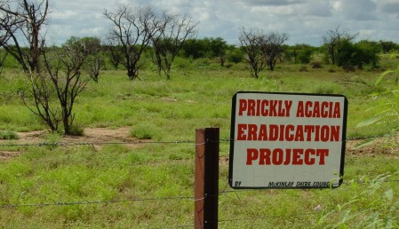 Poisoned Acacia nilotica in the Mitchell grasslands, northwest Queensland
